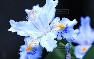 花,白い花,草木,花言葉,自生,シャガ,斑点,多年草,アヤメ科,人里,胡蝶花,反抗