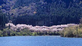 自然,風景,花,桜,屋外,湖,水面,山,サクラ,樹木,ダム,さくら