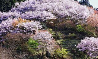 自然,花,桜,屋外,ピンク,水面,山,サクラ,草,樹木,斜面,草木,さくら,カエデ