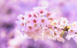 花,春,桜,ピンク,サクラ,草木,四月,淡い,さくら,ブロッサム