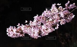 花,桜,屋内,サクラ,旅立ち,出会い,別れ,草木,四月,さくら,ブロッサム