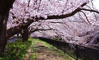 風景,公園,花,春,屋外,ピンク,散歩,水面,樹木,癒し,桜吹雪,川沿い,旅立ち,草木,桜の花,花言葉,さくら,始まり,散策,ブロッサム