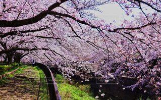 川沿いで満開を迎える桜の写真・画像素材[4650453]