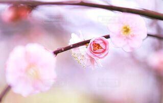 花,春,屋内,ピンク,樹木,儚い,梅の花,草木,桜の花,淡い,早春,二月