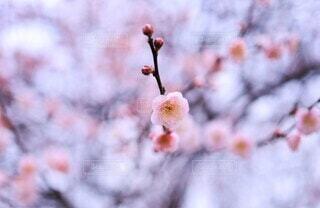 花,春,ピンク,儚い,梅の花,草木,淡い,早春,二月