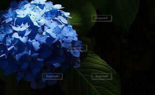 花,屋内,紫,紫陽花,梅雨,陰影,草木,六月,アジサイ,フローラ