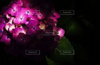 花,屋内,紫陽花,梅雨,陰影,草木,六月,赤紫,アジサイ,フローラ