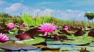 自然,花,夏,ピンク,水面,池,朝,リフレクション,睡蓮,草木,スイレン,花言葉,信頼,純粋な心