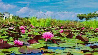 自然,花,夏,屋外,ピンク,水面,池,草,朝,リフレクション,睡蓮,カラー,ロータス,草木,スイレン,花言葉,水生植物,信頼,純粋な心