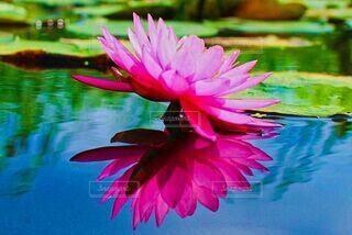 水面に浮かぶ睡蓮のリフレクションの写真・画像素材[4650454]