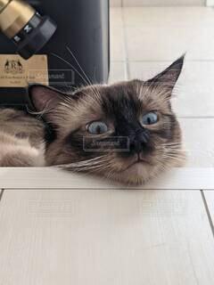 猫,動物,屋内,景色,子猫,見つめる,ネコ科