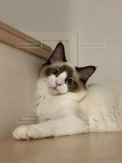 猫,動物,屋内,白,景色,子猫,可愛い,ネコ科
