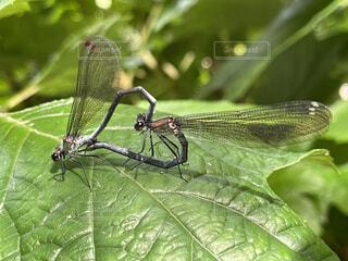 動物,緑,トンボ,昆虫,交尾