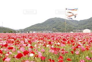 自然,空,花,花畑,屋外,山,景色,草,鯉のぼり,ポピー,草木
