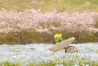花,桜,花畑,屋外,草,ネモフィラ,草木