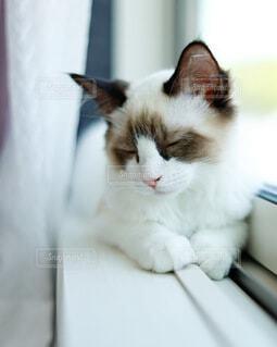 猫,動物,屋内,白,ねこ,座る,ラグドール,美猫,ネコ科,ラグドール子猫,シールポイントバイカラー