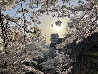 空,花,屋外,景色,樹木,マジックアワー,鶴山公園
