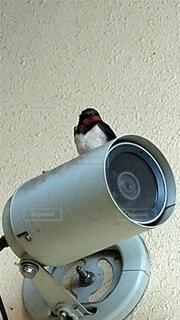 鳥,ツバメ,防犯カメラ,飛ぶ練習中