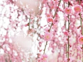 花,春,ピンク,梅,ポートレート,草木,桜の花,さくら,うめ,ブロッサム