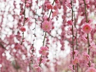 花,ピンク,梅,ポートレート,はな,梅の木,草木,さくら,ブルーム,うめ,ブロッサム