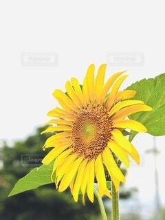 花,夏,屋外,ひまわり,向日葵