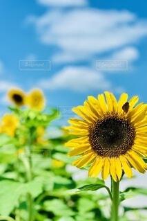 夏,ひまわり,向日葵,夏の風物詩,太陽の花