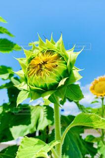 ひまわりが咲きそうの写真・画像素材[4675916]
