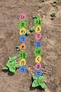 花,夏,ひまわり,夏の風物詩