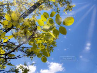 空,公園,夏,秋,屋外,緑,雲,晴れ,青空,青,青い空,黄色,葉,草,樹木,キラキラ,快晴,さわやか,天気,日射し,猛暑,草木,ポプラ,紫外線