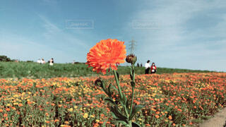 空,花,花畑,屋外,景色,草,草木,日中,キンセンカ,花ひろば,広葉