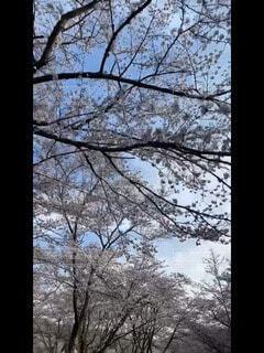 桜,朝,若干上向き