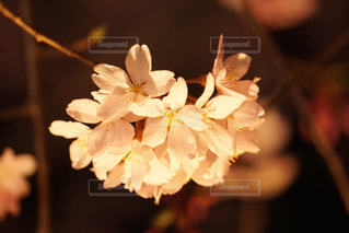 桜の写真・画像素材[405929]