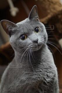猫,動物,かわいい,子猫,グレー,一眼レフ,髭,ネコ科,奇跡の一枚,マル