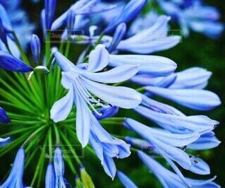 自然,花,夏,屋外,緑,青,紫,ラベンダー,樹木,野外,草木,アガパンサス,7月,フローラ