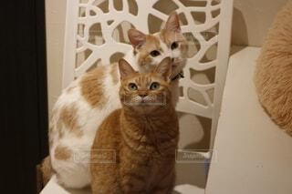 猫,動物,屋内,子猫,座る,ネコ科,探す