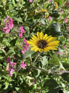 花,屋外,ひまわり,草木,アフリカ デイジー