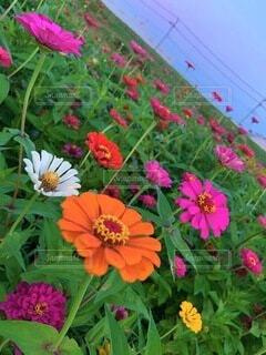花,ピンク,赤,白,花びら,オレンジ,ヒャクニチソウ,草木,百日草 花畑