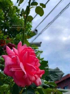 花,バラ,薔薇,草木