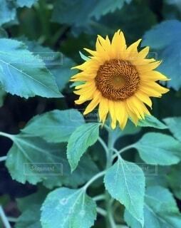 花,夏,屋外,ひまわり,葉,草木