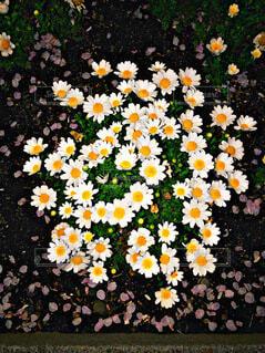 花,デイジー,草木,カモミール,フランスギク,マーガレットデイジー
