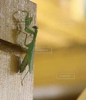 自然,夏,動物,屋内,虫,カマキリ,カマキリ科