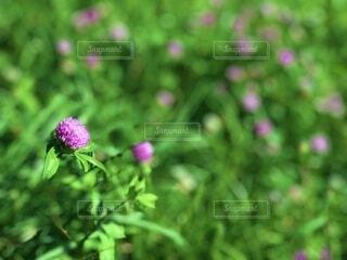 自然,花,夏,花畑,屋外,ピンク,日差し,河原,草,樹木,外,草木,日中