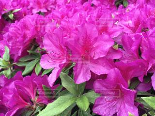 花,雨,雫,梅雨,雨粒,穏やか