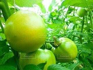 夏,田舎,トマト,農業,カエル,農家,田舎の風景,夏の思い出,夏の風景,緑のある暮らし,夏の田舎,田舎の暮らし