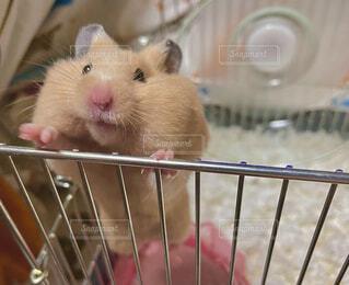 動物,ハムスター,屋内,ペット,ねずみ,ラット,マウス,小動物フード