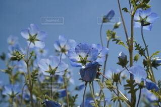 花,ネモフィラ,草木,フローラ
