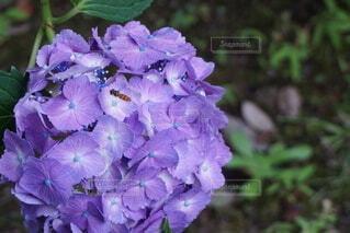 花,屋外,植物,あじさい,虫,草木,フローラ
