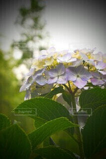 花,あじさい,お花,フローラ