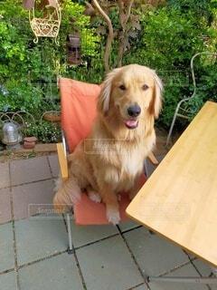犬,動物,屋外,茶色,子犬,ゴールデンレトリバー,ゴールデンレトリーバー