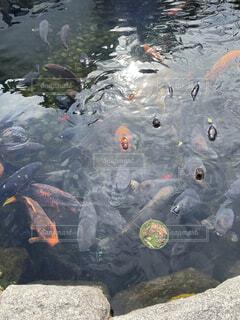 鯉の大進撃の写真・画像素材[4649134]